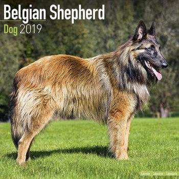 Belgian Sheperd